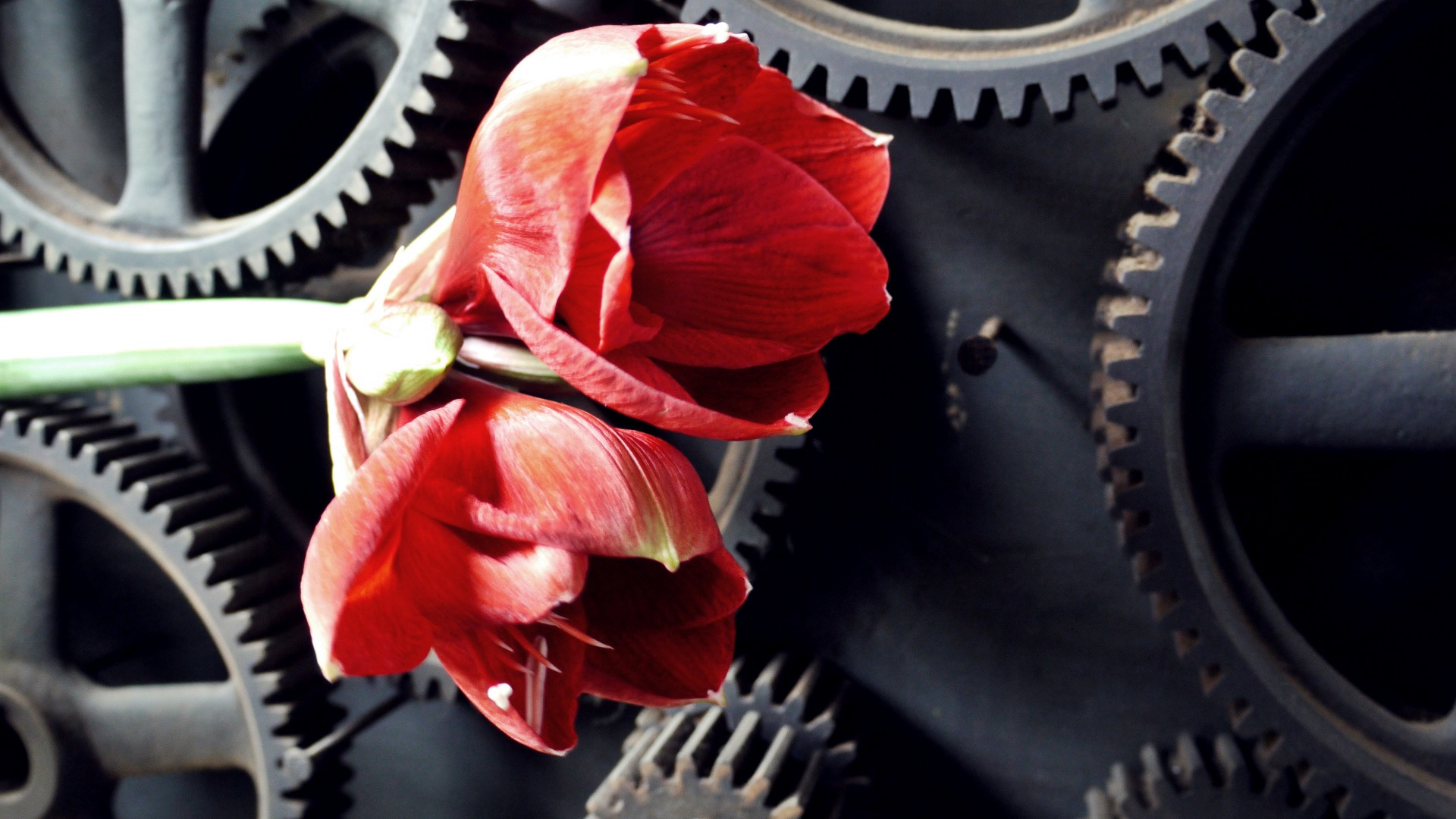 Hochzeitsfloristik Amaryllis